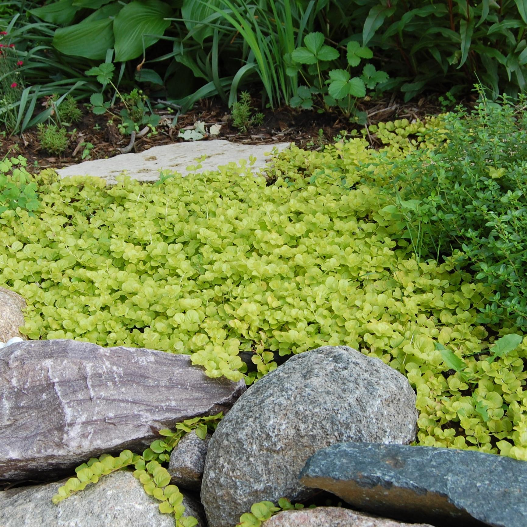 Evergreen ground cover plants images for Best low growing groundcover for full sun